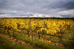 le vignoble de Rheinhessen
