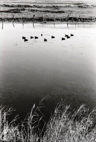 Marais de Woignarue - 80 -  Baie d Somme sud              © Jean-Mary Thomas