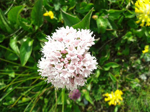 Bachblüten - Glück