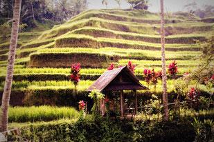Reisterrassen - Typisch für Indonesien
