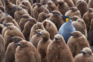Ein grauer Pinguin unter vielen braunen