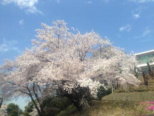 【お気に入りの桜です♫】