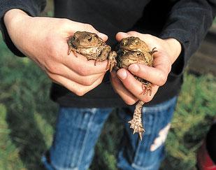 Von NABU-Ehrenamtlichen gerettete Erdkröten (NABU-Pressefoto)
