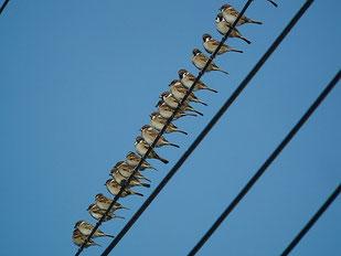 ・2013年12月22日 新川耕地  ・農道脇の電線に ズラリと並んでいた。、