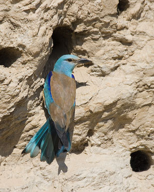 Blauracke im Ebrobecken