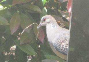 庭の<ベニカナメ>の木に巣づくり始めたキジ鳩くん。