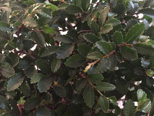 Chinesische Ulme (Ulmus parvifolia), sehr kleine Blätter und feine Verzweigung