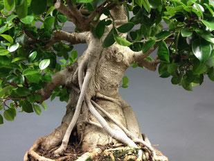 Beeindruckende Luftwurzeln eines Chin. Feigenbaum / Ficus microcarpa