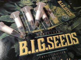 big mamut semillas de marihuana medicianles con cbd del banco big seeds