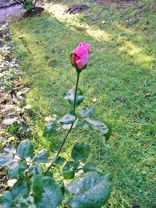 Rose am 27.11.2014 im Garten Foto: ©skb