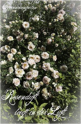 Rosen Hexenrosengarten Rosenblog Duftrosen  Strauchrose Kordes Frühlingsrose Frühlingsduft