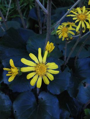 ツワブキの花は菊の花ににている