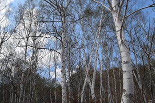 白樺原生林