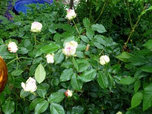 Aspirin - Rose im Vordergrund
