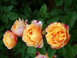 "igs- Rose ""Sonnenwelt"""