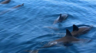 So many wild dolphin families at Manjuyod