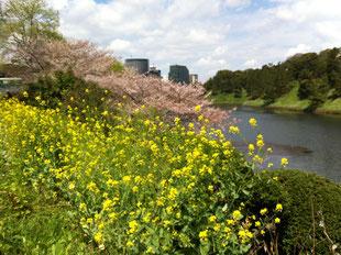桜と菜の花が満開の皇居お堀端でした!