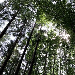葉枯らし天然乾燥の杉