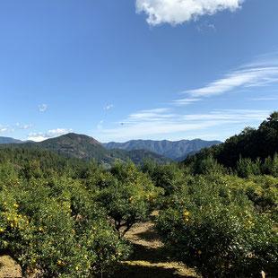川根本柚子
