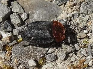 Rothalsige Sylphe - ein Aaskäfer im Tettnanger Wald (Foto: Weinreich 2014)