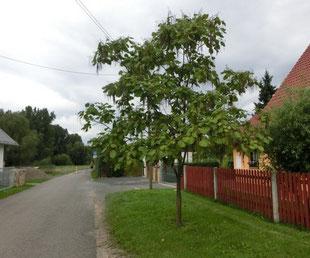 Baum des Monats Der Trompetenbaum Wünschendorf an der Elster