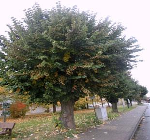 Wünschendorf an der Elster Baum des Monats Die Linde