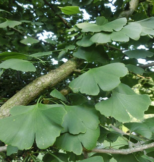 Baum des Monats Der Gingkobaum Wünschendorf an der Elster