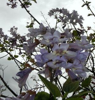 Wünschendorf an der Elster Verein Der Blauglockenbaum Baum des Monats