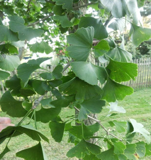 Baum des Monats Der Ginkobaum Bam des Monats