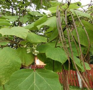Der Trompetenbaum Baum des Monats Wünschendorf an der Elster
