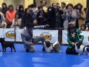 犬種ハバニーズ ドッグショーチャンピオン犬