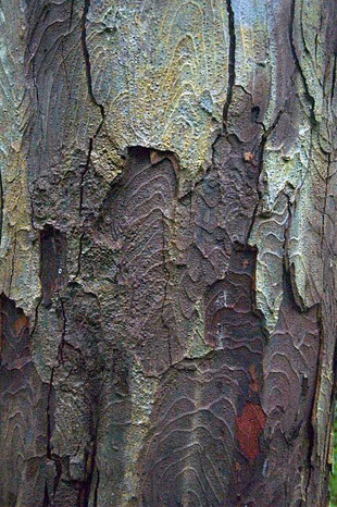 Characteristically ridged bark on mature Rimu