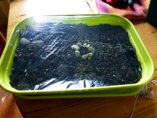 Ein Stück Folie wird mit einem Band über die Kiste gespannt. In die Folie kommen kleine Löcher, damit der Garten nicht schimmelt.