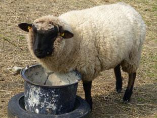 Dieses Schaf wohnt auf dem Wufsdorfer Hof, da habe ich heute eingekauft!