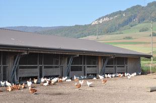 Vom Stall her können die Hühner selbständig auf den Schnitzelplatz und die Weide. Sie kennen kein schlechtes Wetter und geniessen Freigang auch bei Regen.
