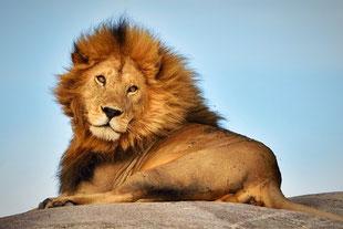 Löwe bei der Safari Tour