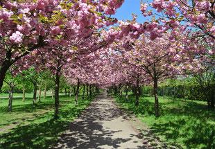 Kirschbäume Böse-Brücke Prenzlauer Berg