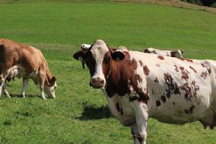 Kuh auf einer Almweide