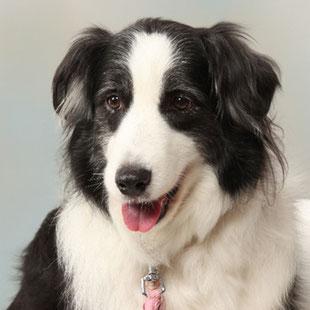 ペット写真スタジオ千葉・ボーダー・コリーの看板犬ローザ