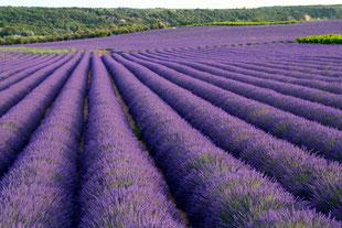 Lavendel soweit das Auge reicht