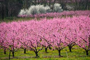 Pfirsichblüten im Drômetal
