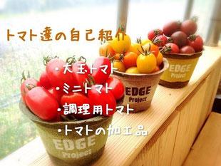 石川トマトのトマトたち