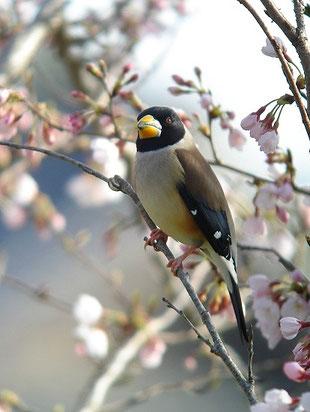 ・2010年4月4日 手賀沼  ・ 手賀沼湖畔の桜は、他所よりも1週間遅く咲く。