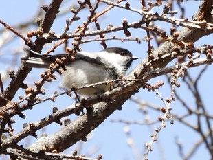 ・2018年4月1日 八ヶ岳まきば公園 ・桜は未だ蕾。