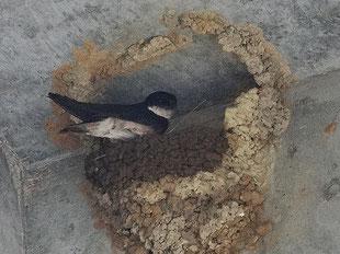 ・イワツバメ 2018年6月23日 柏の葉周辺  ・今日、一番 活発に泥運びが行われていた巣。 新たに5cmほど積み上げられていた。