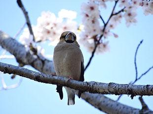 ・2019年4月4日 柏の葉公園  ・青空の花鳥を期待したが、鳥さんが日陰で、いいとこなし。