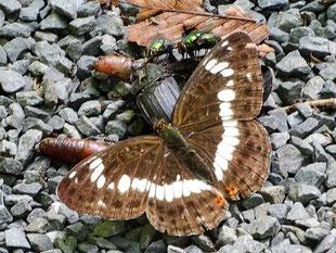 ・2019年6月14日 柏の葉周辺  ・ミミズの死骸に集まっていた シデムシ(死出虫)、ミドリキンバエ と イチモンジチョウ。