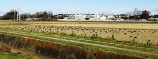 ・2018年12月28日 今上耕地  ・約300羽のミヤマガラス。 コクマルは白/黒とも混じっていなかった。