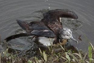 ・2011年9月25日 利根運河  ・台風は思いがけない野鳥を運んでくる。今朝、利根運河の畔を歩いていると、岸の縁で見かけない鳥が見つかった。 時折、翼を広げようと試みるが、完全に開ききらない。その後、対岸へ泳いでいき、土手の草の上へ上がった。