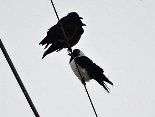 ・コクマルガラス 2018年1月28日 新川耕地  ・暗色型2羽と淡色型。
